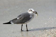 Lachende Möve (Lencophaeus atricilla) Stockfotografie