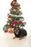 Lachender Hund auf Fußboden durch Weihnachtsbaum Lizenzfreie Stockfotografie