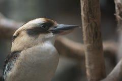 Lachendes Kookaburra stockbilder
