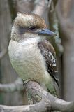 Lachendes Kookaburra Lizenzfreies Stockbild