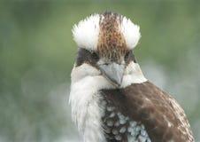 Lachendes Kookaburra Stockfoto