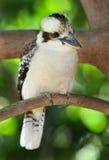 Lachendes kookaburra/Eisvogel, mackay, Australien Lizenzfreies Stockfoto