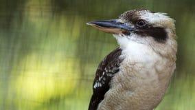 Lachendes Kookaburra Portrait Lizenzfreies Stockfoto