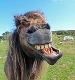 Lachendes Pferd stockbild