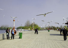 Lachmöwefliegen Stockbild
