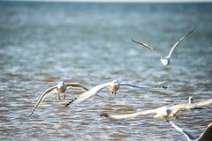 Lachmöwen, die tief über die Ostsee fliegen stockfotografie