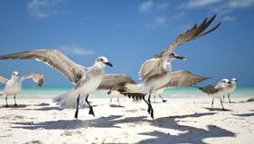 Lachmeeuw,笑的鸥,鸥属atricilla 免版税库存照片