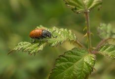 Lachnaia bladskalbagge på Blackberry buske royaltyfri fotografi