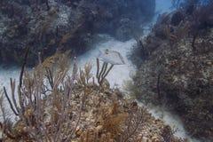 Lachnolaimus mximus Stock Photo