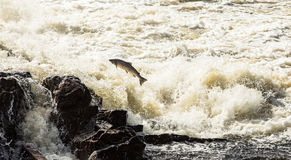 Lachs, Salmo Salar, springend in turbulente Wasserfälle in Kristiansand, Norwegen Stockfoto