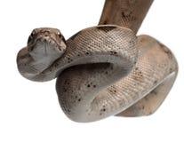 Lachsboa constrictor, Boa constrictor Stockfotos