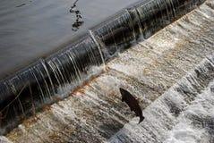 Lachse, die eine Fischstrichleiter steuern Lizenzfreie Stockbilder