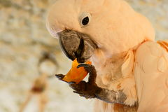 Lachse - mit Haube Cockatoo Lizenzfreies Stockbild