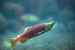 Lachse Unterwasser Stockbild