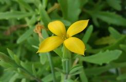 Laciniata di Kalanchoe Fiore giallo fotografie stock