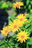 Laciniata do Rudbeckia Flores amarelas Fotografia de Stock