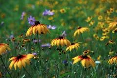 Laciniata Rudbeckia στοκ φωτογραφίες