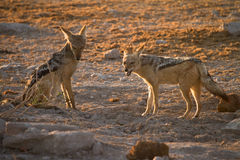 Lack backed jackals Stock Images