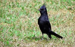 Lack bird with tuft  Knipolegus lophotes. The Black-of-Plume is a species of bird in the Tyrannidae family. It can be found in the following countries: Brazil Royalty Free Stock Photos