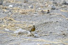 In the dry river foraging songbird. Because of lack of food in winter, a group of songbirds in the dry river in foraging Royalty Free Stock Image