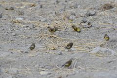 In the dry river foraging songbird. Because of lack of food in winter, a group of songbirds in the dry river in foraging Stock Photography