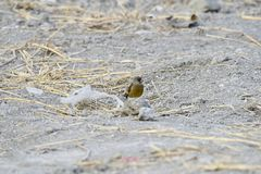 In the dry river foraging songbird. Because of lack of food in winter, a group of songbirds in the dry river in foraging Royalty Free Stock Photography