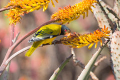 Lack-headed oriole sitting on yellow aloe catch bee Royalty Free Stock Photography
