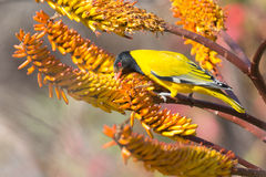 Lack-headed oriole sitting on yellow aloe catch bee Royalty Free Stock Images