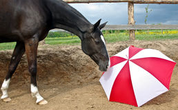 Lack horse with a red white umbrella Stock Photos
