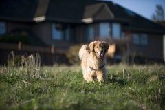 Lack-Läufer des goldenen Apportierhunds auf einem Gebiet. Lizenzfreies Stockbild