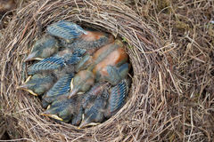 Nest of young blackbirds  Stock Image