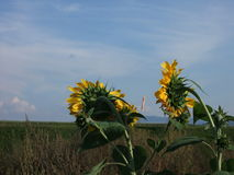 The lack of wind, sunflowers, a boring day Royalty Free Stock Image