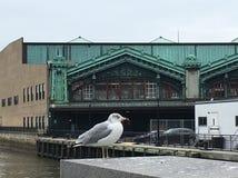 Lackawanna Seagull Royaltyfria Foton