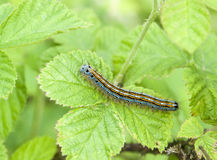 Lackey moth caterpillar Royalty Free Stock Photography