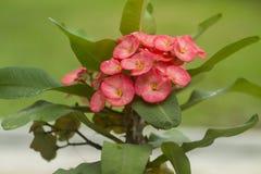Lacouronned'épines (Euphorbiamiliien) Arkivfoto
