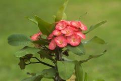 Lacouronned'épines (Euphorbiamiliien) Royaltyfria Bilder