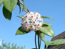 Lacrima Cristii - fleur de la larme du Christ Photos libres de droits