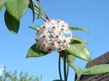 Lacrima Cristii - flor del rasgón de Cristo Fotos de archivo libres de regalías