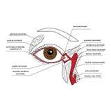 Lacrimal aparat royalty ilustracja