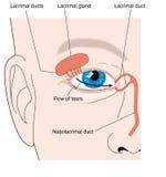 Lacrimal apparatur Arkivbilder