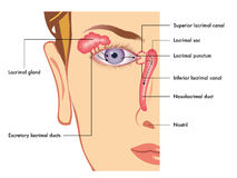 Lacrimal apparatus Stock Image