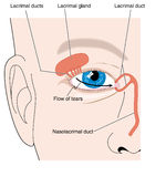 Lacrimal apparatus Stock Images