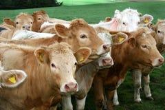 lacs anglais de groupe de zone de bétail Image stock
