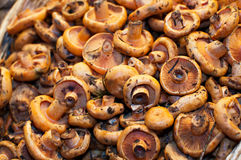 Lactarius deliciosus Stock Photography