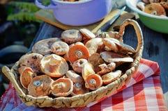 Lactarius deliciosus in a basket Royalty Free Stock Photography