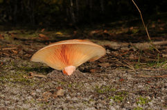 Lactarius deliciosus, commonly known as the saffron milk cap and red pine mushroom Royalty Free Stock Image