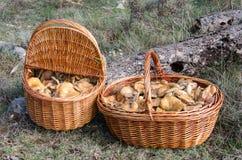 Lactarius Deliciosus  niscalos or rovellons Stock Photography