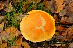 Lactarius glyciosmus Stock Images