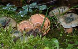 Lactarius mushrooms Stock Images