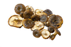 Lactarius necator mushrooms. Close up on white background Royalty Free Stock Photos